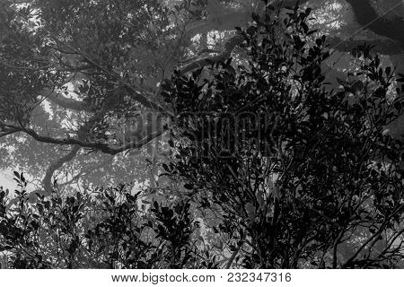 Black And White Scene Of Dense Trees And Branches In The Forest With White Mist In Foggy Day. Hopele