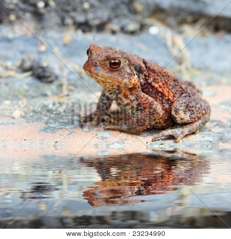 The Common Toad or European toad (Bufo bufo) at garden pond . Close up with shallow DOF.