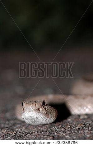 A Close Macro Image Of A Western Diamondback Rattlesnake Showing The Heat Sensor Pits.
