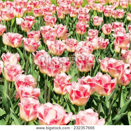 Tulips Everywhere Vibrant Colors