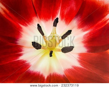 Close-up Of A Red And White Tulip Flower Head. Top View.