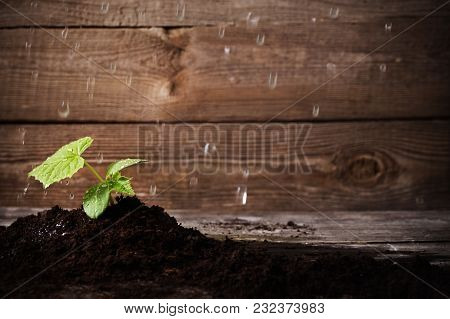 The Cucumber Seedlings On A Wooden Background