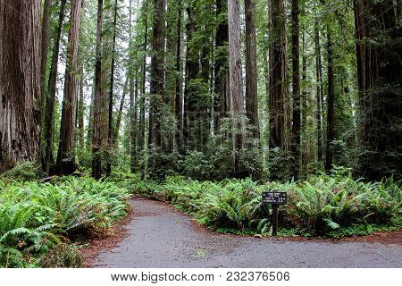 Stout Grove Loop Trail In Redwood National Park, California