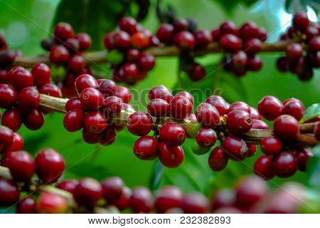 The Colorful Of Raw Coffee Beans