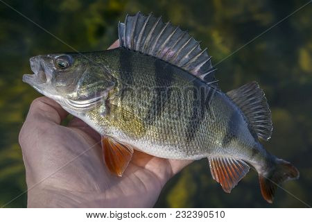 Caught Perch Fish Trophy In Hand Of Fisherman Above Water. Fishing Background