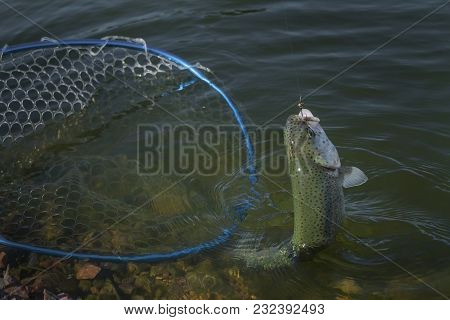 Taking Trout Salmon Fish By Landing Net In Water. Area Fishing Background