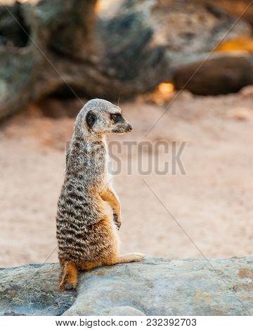 Meerkat Surikate Found In Zoo, Australia.