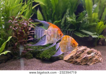 Closeup Two Angelfish Swimming In Aquarium Tank.