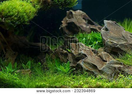 Aquarium Plants Decoration, Aquatic Fern And Aquarium Plant Growth In Aquarium Tank.