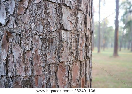 Husk Tree Or Tree Bark Or Pine Tree In The Morning
