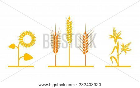 Fields Of Sunflowers, Wheat, And Corn. Set Of Simple Wheats Ears Icons And Grain Design Elements For