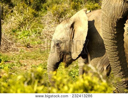 Small Elephant In South Africa With Mother