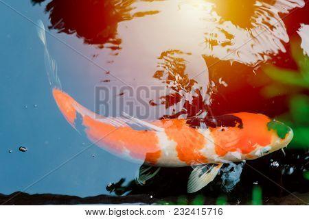 Japanese Koi Carp Fish In Pond Vintage Colortone
