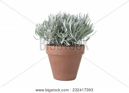 Sage With Small Leaves In Terra Cotta Pot Isolated On White Background