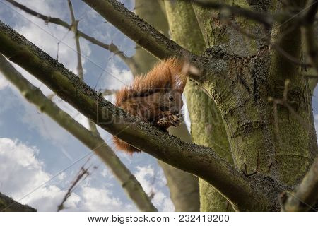 A Squirrel In The Tree With A Cone, Eating