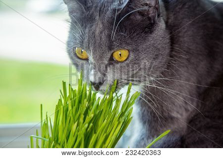 Vitamins For Cats - Germinated Oats. Green Grass In A Flowerpot. Cat Eating Grass Useful. Cat Gray,