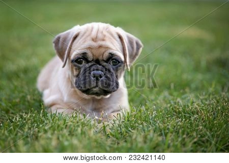 cute baby pug chihuahua mix called a chug playing on a green lawn