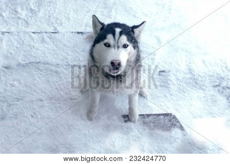 Husky Winter In The Snow Showed The Language Of The Dog Teasing Toned Photo