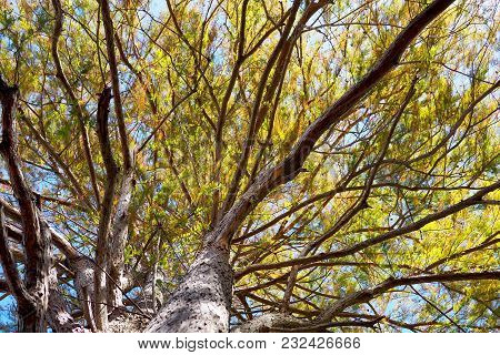 View Up Into The Branches Of A Huge Tree