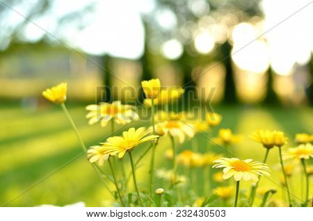 Detail Of Of Yellow Daisies In A Summer Garden In The Sunset