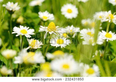 Beautiful Spring Daisies Background Wallpaper At Summer