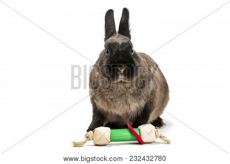 Studio Shot Of A Brown Rabbit Placed On White Background. The Rabbit Has A Toy In Front.