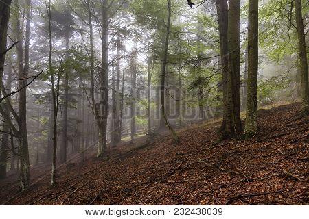 Forest Of Beech Trees In Fog And Rain, Transylvania, Romania