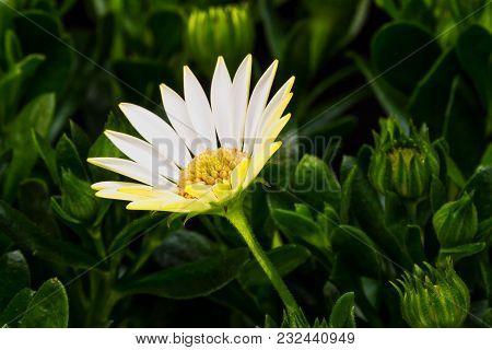 Namaqualand Daisy, Close Up Of White Flower Head