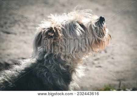 Cross Breed Barking White Fluffy Dog Outside