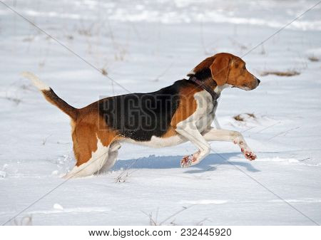 The Estonian Hound Runs On The Snow-covered Field During The Training