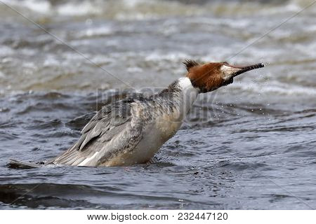 Goosander In The River On A Winter Day