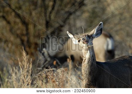A Female Mule Deer Enjoys A Snack On The Bosque Del Apache Widlife Refuge In New Mexico.
