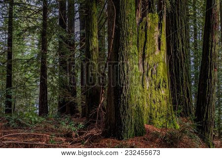 Sunbeam Hitting A Giant Mossy Sequoia Tree Trunk In The Redwoods Forest In California