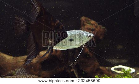 Fish In An Aquarium, Fish In An Aquarium On A Blue Background. Fish In Aquarium , Angelfish, Pteroph