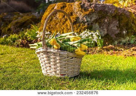 A Basket With Spring Yellow Tulips On A Spring Lawn And Snowdtops Flowers On A Background.