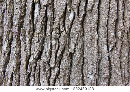 Close Up Of Bark Texture On A Sweet Gum Tree, A Large, Deciduous Tree. Commonly Called Sweetgum (swe