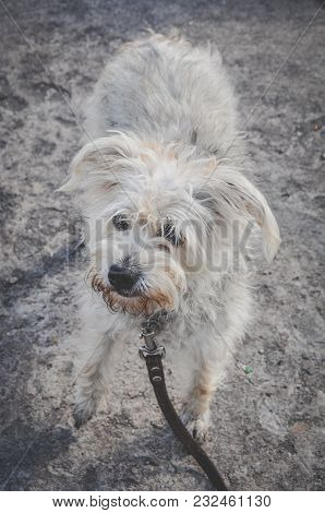 Funny Fluffy Cross Breed Dog On A Leash, Walking With A Dog On The Street