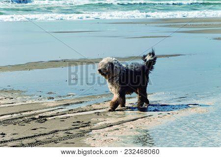 Dog Walking On The Beach. Pet Walking Along The Seashore
