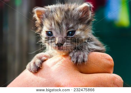 Cute Little Kitten In The Hands Of Close Up. Blue Eyes. Very Small Beautiful Kitten. Concept Protect