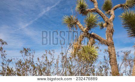 Beautiful Low Angle Shot Of Joshua Tree Over A Blue Sky Clouds Background.