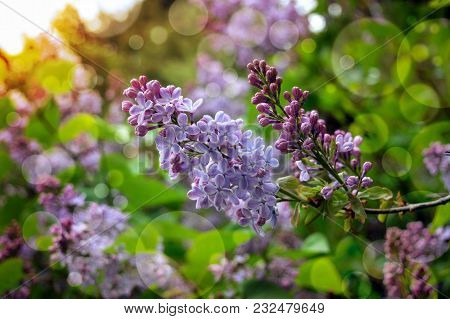 Branches Of Purple Lilac. Close-up.bright Spring Morning In The Garden. The Rays Of The Sun Shine Th