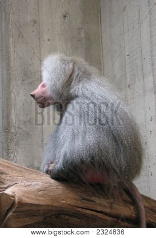 Serious Baboon Profile