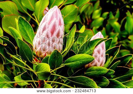 Close Up Of Protea Flower Buds Along The Franschhoek Pass In The Western Cape Province Of South Afri