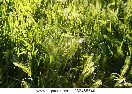 Green Field Of Young Rye. Good Background For Agriculture, Ecology And Organic Subject