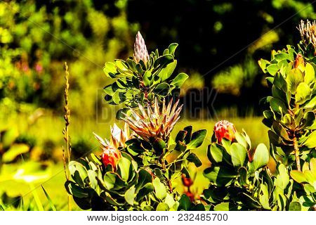 Close Up Of Protea Flowers In Full Bloom Along The Franschhoek Pass In The Western Cape Province Of