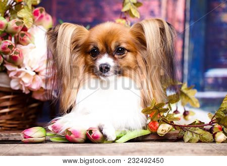 papillon, dog butterfly and spring bouquet