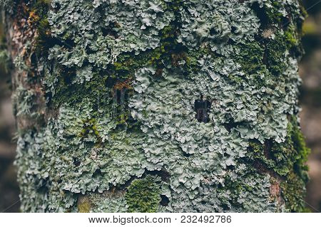 Tree Trunk Covered With Green Moss And Lichen As Background. Moss Texture And Background For Design.