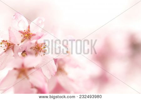 Cherry blossoms in the rain. Cherry blossom flowers with rain drops on petals.