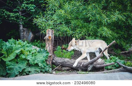 Grey Wolf, Canis Lupus. Wolf Runs In The Forest