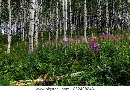 Purple Wildflowers In The Forest, Sibbald Lake Provincial Recreation Area, Alberta, Canada